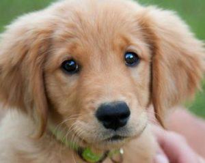 Pies myśliwski lub pokojowy