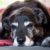 Krwawy mocz, reumatyzm i dychawica u psa